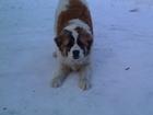 Просмотреть изображение Вязка собак Ищем кобеля для вязки породы Московская сторожевая, 65212000 в Алапаевске
