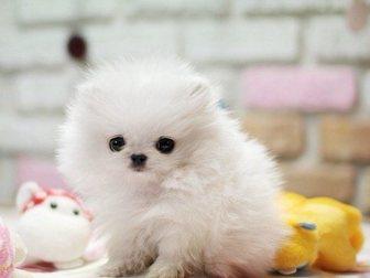 Уникальное фотографию Собаки и щенки Померанский миниатюрный шпиц 32549705 в Анадыри