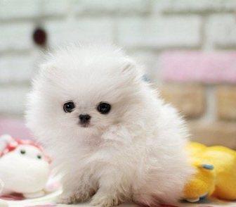 Фото в Домашние животные Собаки и щенки Померанский миниатюрный шпиц разные окрасы, в Анадыри 16000