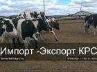 Просмотреть foto  Продажа коров оптом Заключаем договора на продажу коров 68366450 в Петровом Вале
