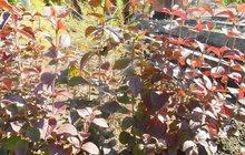 Продам кустарник Калина буреинская