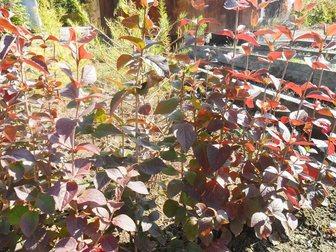 Скачать бесплатно foto Растения Продам кустарник Калина буреинская 32563583 в Артеме