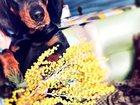 Изображение в Собаки и щенки Вязка собак Молодой красивый таксёнок Веня ищет подр в Арзамасе 0