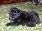 Изображение в   Продам щенков азиатов. . окрас черно-белый, в Хвалынске 15000