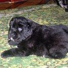 Продам щенков (сао)