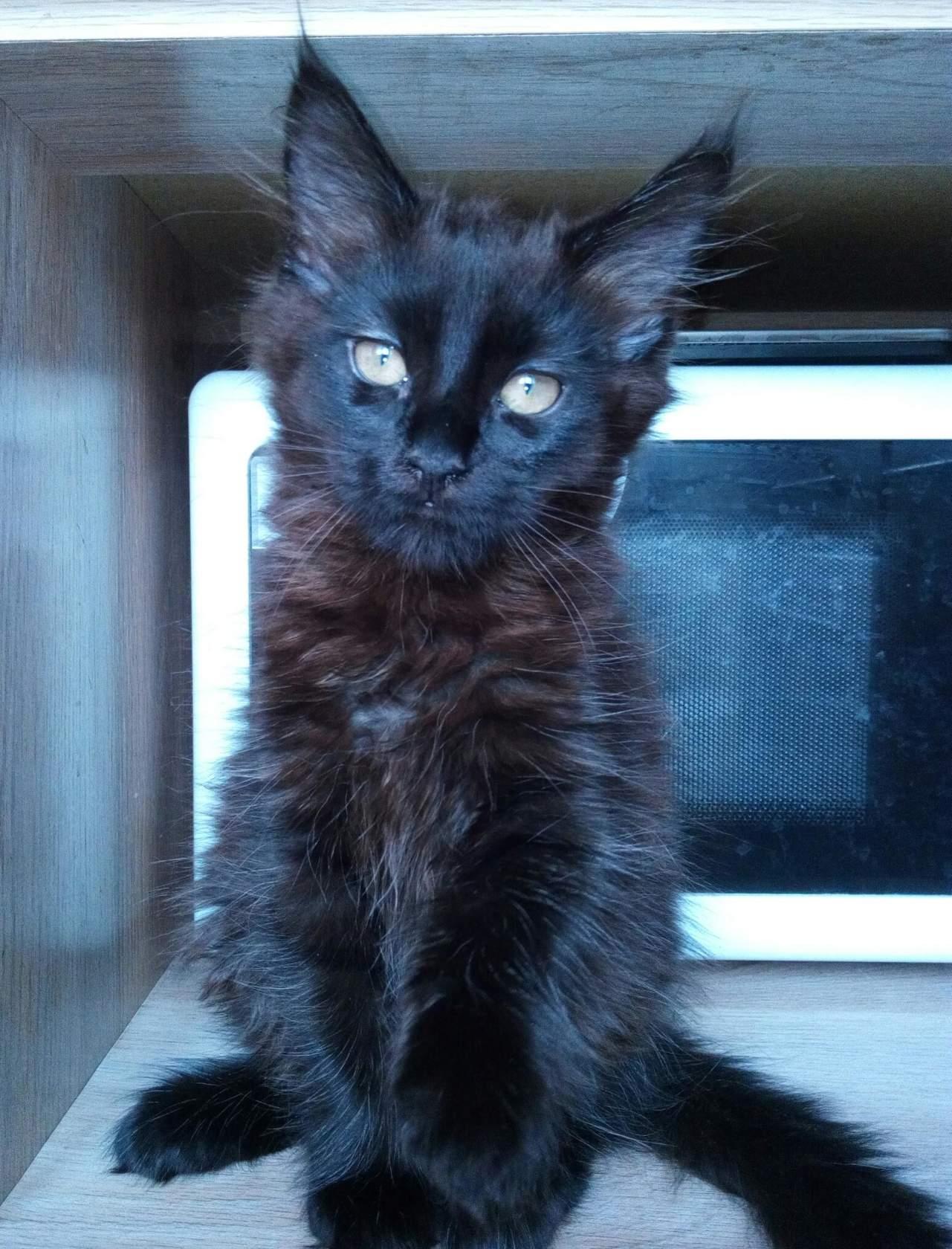 Кошки и котята породы Мейн-кун - купить из питомников и.