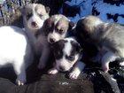 Фотография в   Продам щенков рождены 18. 10. 15. Родители в Барнауле 6000