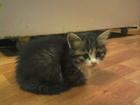 Изображение в Отдам даром - Приму в дар Отдам даром Отдам в добрые, заботливые руки котят (мальчики в Барнауле 0