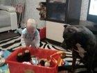 Фото в Собаки и щенки Вязка собак Кобель Стаффордширский терьер 35 кг. , возраст в Барнауле 0