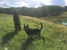 Смотреть изображение Вязка собак Восточно-европейская овчарка/кобель 40294005 в Барнауле