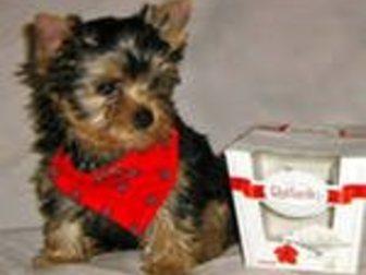 Свежее фотографию Разное щенки йоркширского терьерчика 32774941 в Барнауле