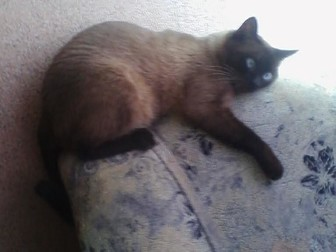 Увидеть foto  Потерялся взрослы кот выбежал с квартиры в районе Юрина 204бк1 Особые приметы на пузе грыжа, всем кто видел просьба сообщить по номеру +79132481632 Дети скучают 66624885 в Барнауле