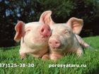 Изображение в Домашние животные Другие животные Поросята в живом весе. Порода Крупная Белая+Ландрас. в Белебее 0