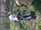 Свежее фотографию Отдам даром - приму в дар Отдаю щеночка в добрые руки 65391100 в Белгороде