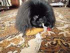 Уникальное фото Вязка собак Вязка пекинеса, Пекинес по кличке Чарли, 2 года 1 месяц 66465063 в Белгороде