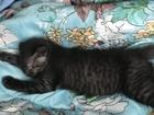 Уникальное фотографию  Котята британской породы в дар 67747279 в Белгороде