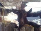 Увидеть фотографию Другие животные Дойные козы и 1,5месячные козочки и козлята 55203890 в Белогорске