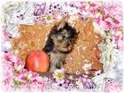 Изображение в Собаки и щенки Продажа собак, щенков Красивые высокопородные декоративные щенки в Белоярском 25000