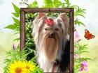 Фото в   Красивые высокопородные декоративные щенки в Белоярском 25000