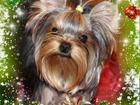 Изображение в Собаки и щенки Продажа собак, щенков Предлагаются роскошные высокопородные щенки в Белоярском 30000