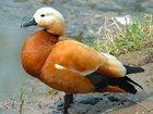 Фотография в Домашние животные Птички Продаются декоративные, древесные утки. Есть в Белореченске 10