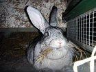 Фотография в   Продам кроликов 3. 5 месяца. Порода бабочки, в Белово 450