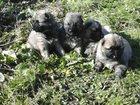 Изображение в Собаки и щенки Продажа собак, щенков Продам очаровательных , чистокровных щенков в Березовском 8000