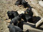 Фотография в   Продаю щенков ягд-терьера от рабочих родителей, в Бийске 5000