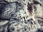 Изображение в   Продам котят бенгалов. Возраст 1. 5 месяца. в Бийске 5000