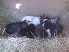Фотки и картинки Западно-сибирская лайка смотреть в Биробиджане