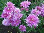 Фотография в Домашние животные Растения Продаю зимующие хризантемы для выращивания. в Благовещенске 150