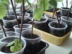 Просмотреть foto Растения укорененный виноград 38928705 в Благовещенске