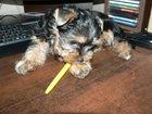 Фотография в Собаки и щенки Продажа собак, щенков Продается очень красивый мальчик йоркширского в Братске 15000