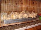 Изображение в   Цыплята разных пород, пропоенные от 10 дней в Брянске 120