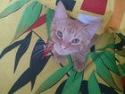 Смотреть фото Отдам даром - приму в дар Отдам котёнка в добрые руки 32800486 в Брянске