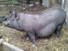 Свежее фото Другие животные Супоросная свинка вьетнамской вислобрюхой 33764551 в Брянске