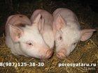 Свежее изображение Другие животные Привезем поросят , Доставка 33956931 в Брянске