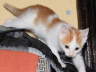 Фото в  Отдам даром - приму в дар Бело-рыжий котик, 2, 5 месяца, отдам. Приучен в Брянске 100