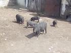 Смотреть фото  Поросята вьетнамской породы 39227455 в Брянске