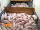 Свежее изображение Другие животные Поросята корытники 37197676 в Чехове-7