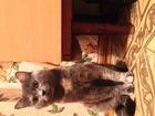 Смотреть изображение  Кот (помесь британца и чегототам) ждет кису 62697697 в Челябинске