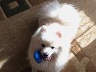 Новое foto Вязка собак Ищем девочку Шпица для первой вязки) 66402845 в Челябинске