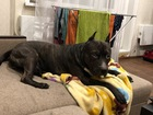 Увидеть фотографию Вязка собак Крупный амстаф, умный, красавец 3-х лет, приглашает на вязку, Подробнее по телефону, Ждём вас красавицы, звоните! 68982557 в Челябинске