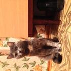 Кот (помесь британца и чегототам) ждет кису