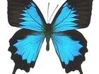 Фотография в Домашние животные Другие животные Всегда в наличии более 30 видов живых бабочке в Черкесске 600