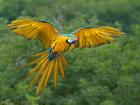 Увидеть фотографию  продаю попугая Ара в г Димитровграде 68769430 в Димитровграде