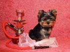 Скачать бесплатно foto  Продаются щенки йоркширского терьера 32296052 в Дмитрове