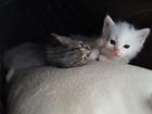 Фото в Отдам даром - Приму в дар Отдам даром милый котенок ждет своего хозяина. Окрас в Дмитрове 5