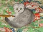 Фото в Кошки и котята Вязка Шотландская вислоухая красотка нуждается в Дмитрове 0