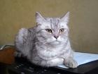 Просмотреть foto Вязка Шотландская прямоухая Кошечка ищет Шотландского вислоухого Красавца! 34033416 в Дмитрове